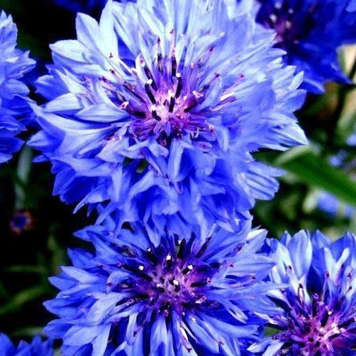 Rudzupuķes BLUE BOY 1g