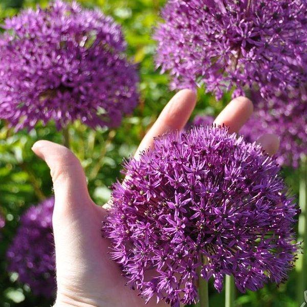 Dekoratīvie sīpoli Purple Sensation 1 gab