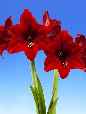 Amaryllis Arabian Night ( Hipeastrs ) 1 gab