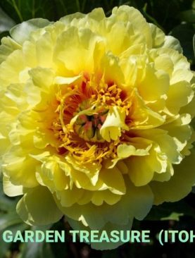Peonija intersekciju ( ITOH ) Garden Treasure peoniju gumi 1 gab
