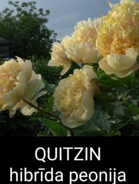 Peonija hibrīda Quitzin peoniju gumi 1 gab