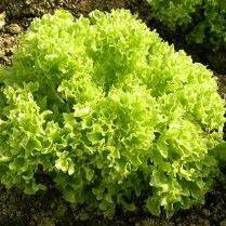 Salāti lapu GRAND RAPIDS 2g