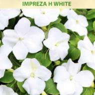 Balzamīnes Impreza H White 15gab