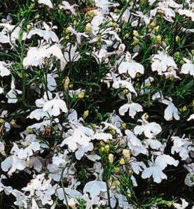 Lobēlijas WHITE CASCADE 0.1g