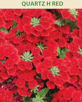 Verbenas darza Quartz H Red 15gab
