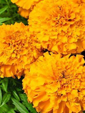 Samtenes lielās Calando Orange 0.5g