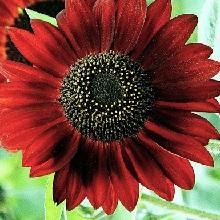 Saulespuķes Crimson Queen 1g