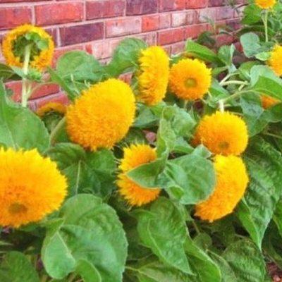 Saulespuķes TEDDY BEAR 2g