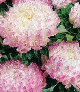 Asteres peoniju g.rozā 0.8g