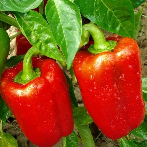 Paprika California Wonder 0.5g