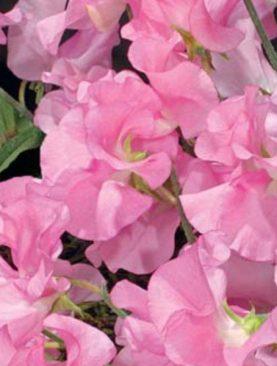 Puķuzirnis Spenser rozā 3g