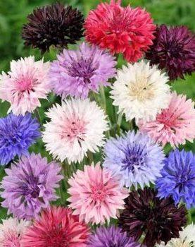 Rudzupuķe mix  zema 1g