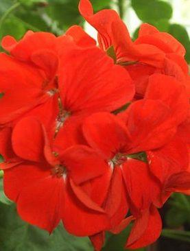 Pelargonija zonālā sarkana 10s