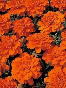 Samtenes zemās Tangerine 1g