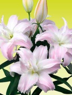 Austrumu lilija Roselily Kendra 1 gab (