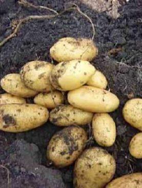 Kartupeļi Queen Anne 1 kg