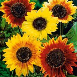 Saulespuķes šķirņu maisījums 2g