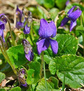 Vijolīte smaržīgā violeta 0.3g