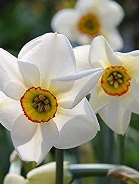 Narcises smaržīgās RECURVUS 5 gab