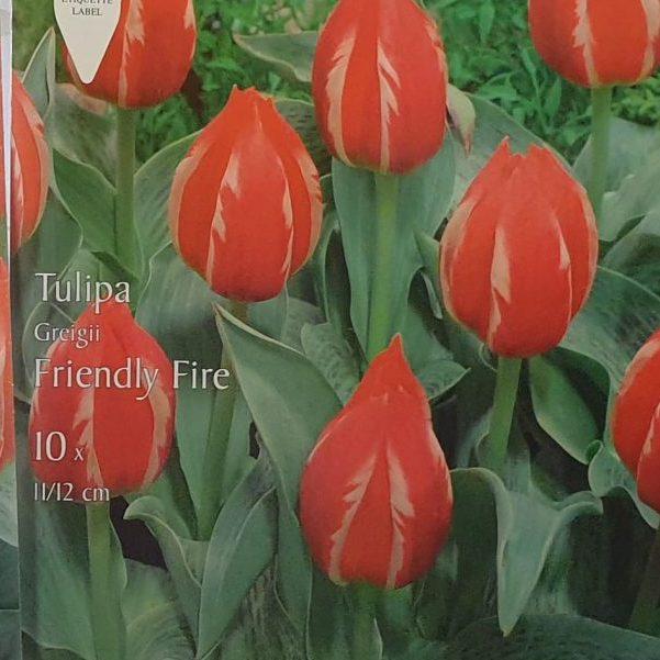 Tulpes Greiga Friendly Fire zemās 10gab