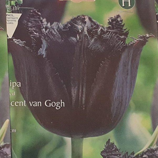 Tulpes bārkšziedu Vincent van Gogh 10gab