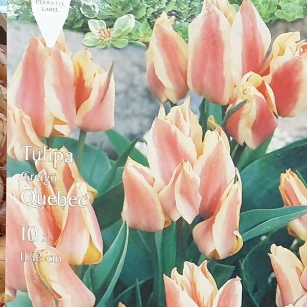 Tulpes Greiga Quebec zemās 10gab