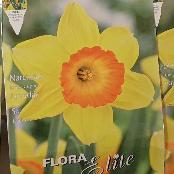 Narcises lielziedu Loveday 5 gab