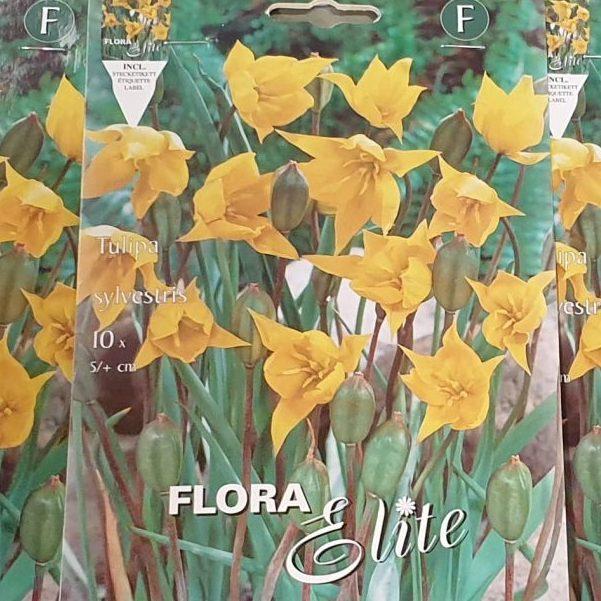 Tulpes savvaļas sylvestris - savvaļas tulpe 10 gab