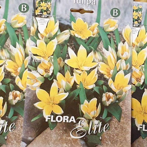 Tulpes botāniskās TARDA 10 gab