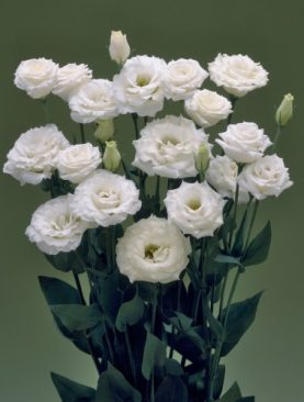 Eustoma (lizante) lielziedu Corelli II White Imp F1 10 gab