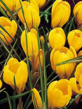 Krokusi Large Yellow 1 gab