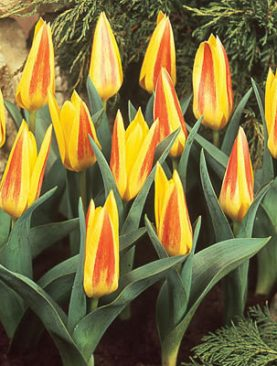 Tulpes kaufmaņa Guiseppe Verdi. Tulpju sīpoli 10 gab