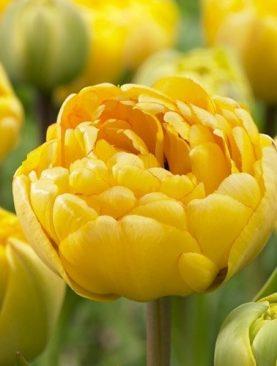 Tulpes pildītās vēlās Yellow Pomponiette 10 gab