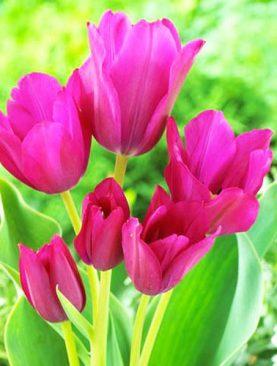 Tulpes single late Night Club. Tulpju sīpoli 7 gab
