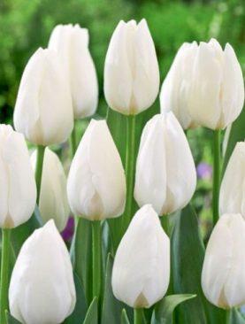 Tulpes triumph Rojal Virgin. Tulpju sīpoli 10 gab