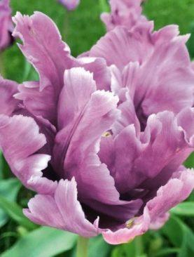 Tulpes parrot James Last. Tulpju sīpoli 10 gab