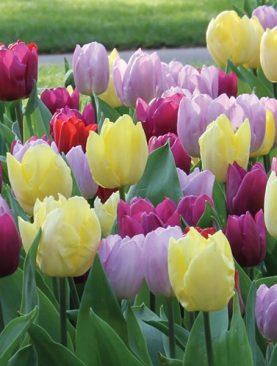 Tulpes single early Prince mix. Tulpju sīpoli 10 gab