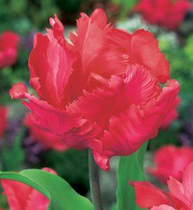Tulpes parrot Erna Lindgreen. Tulpju sīpoli 10 gab