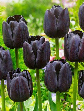 Tulpes triumph Paul Scherer. Tulpju sīpoli 10 gab