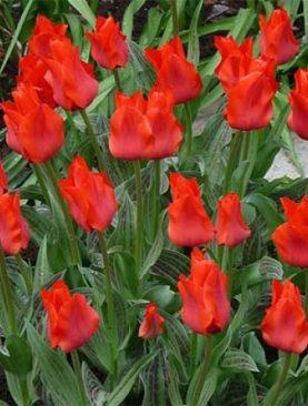 Tulpes greigii Red Riding Hood. Tulpju sīpoli 10 gab