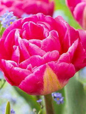 Tulpes double late Voque. Tulpju sīpoli 10 gab