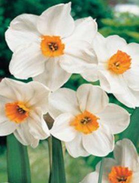 Narcises daudzziedu Geranium 5gab