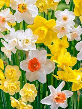Narcises All types Mix 5 gab