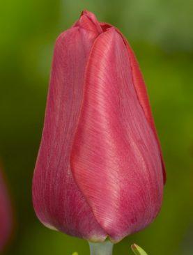 Tulpes single early Ruby Prince. Tulpju sīpoli 10 gab